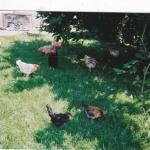 poules-nicole.jpg